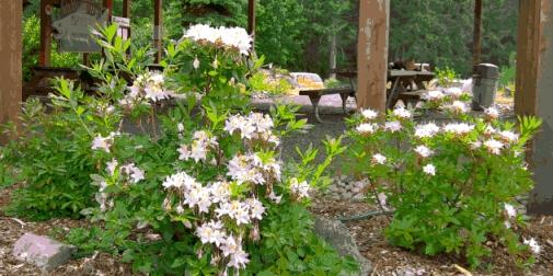 Rhododendron occidentale a.k.a. Western azalea