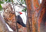 Pileated Woodpecker                 photo by Andrew Reding