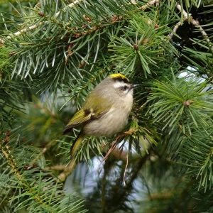 2008-0202-c-golden crowned kinglet atop Fort Worden hill