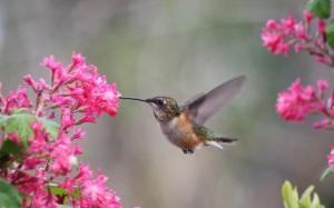 Rufous Hummingbird  photo by Andrew Reding