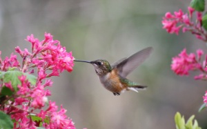 Rufous Hummingbird  photo by Andrew Reding