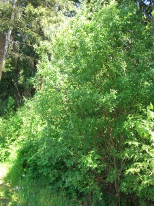 Salix spp       Willow