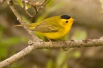 Wilson's Warbler       photo by David Gluckman