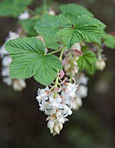 Ribes sanquineum flowering currant white icicle kul kah han advertisements mightylinksfo